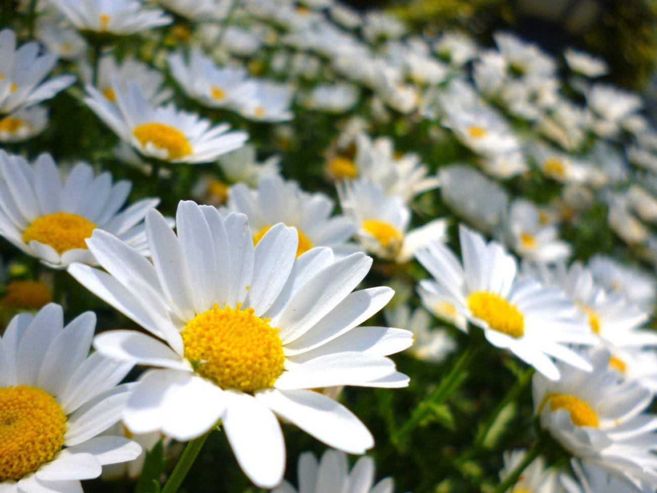 可憐な花の人気レディース香水!マークジェイコブス『DAISY(デイジー)』9選