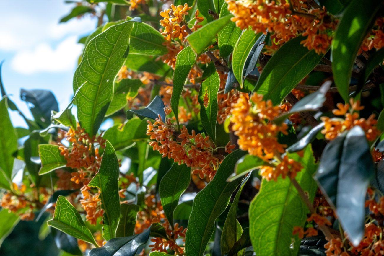 秋の雰囲気が感じられる香り『金木犀(きんもくせい)』の香水おすすめ6選