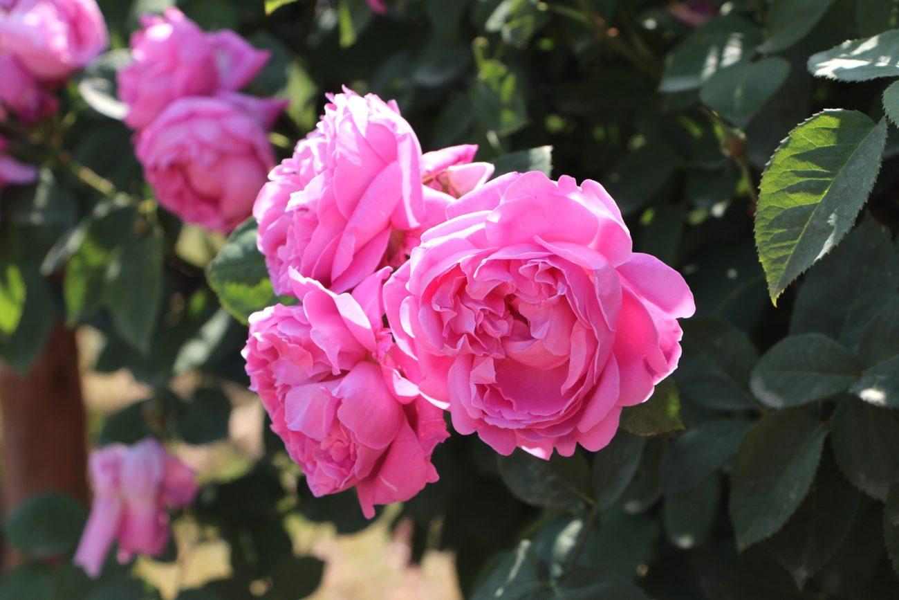 『ローズドクロエ』は上品で大人な薔薇の香り!でも持続力は弱めかも…