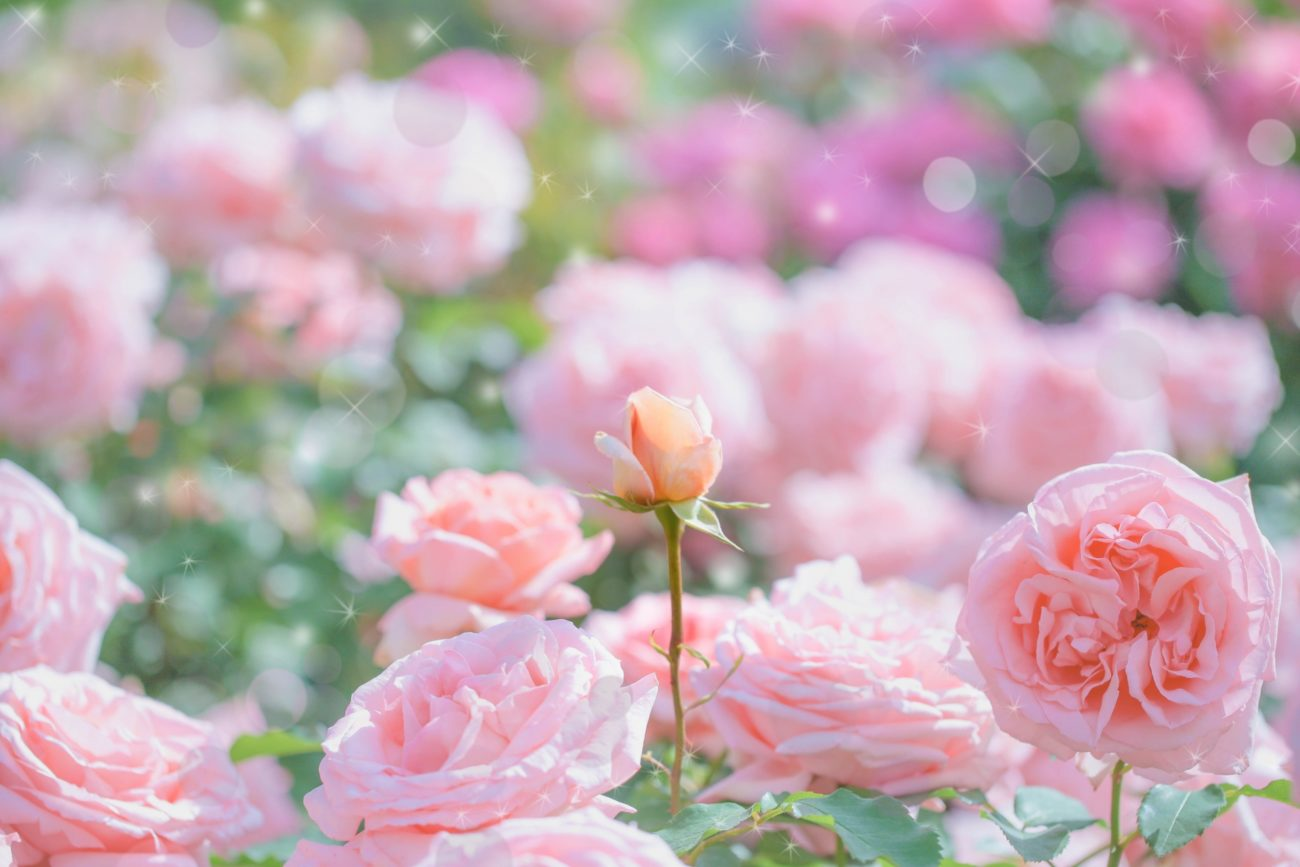 『ミスディオール ローズ&ローズ』は溢れんばかりの薔薇のフレグランス!