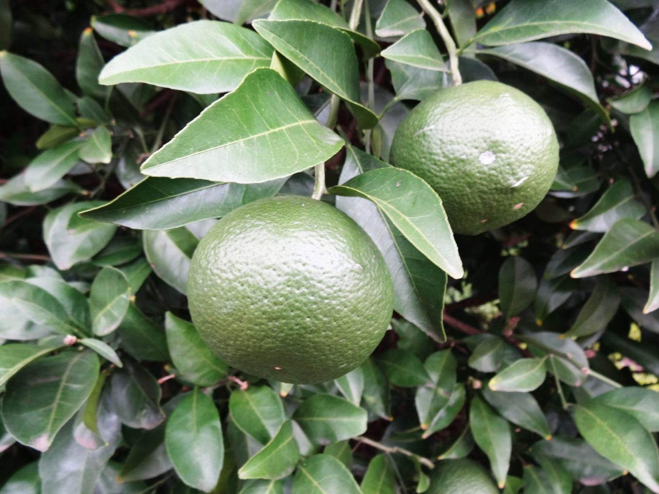 爽やかな柑橘の香り『ベルガモット』が含まれている香水10選